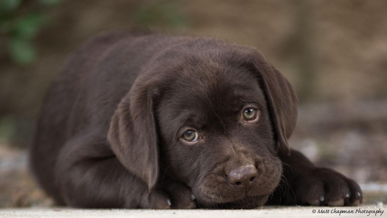 Lure Labradors   Home